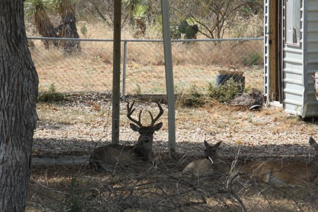 A loss of committee members prompted the city of Granite Shoals to postpone their deer culling program. File photo